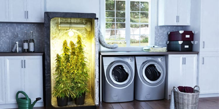 10 Autoflowering Cannabis Seeds to Grow in a Grow Box