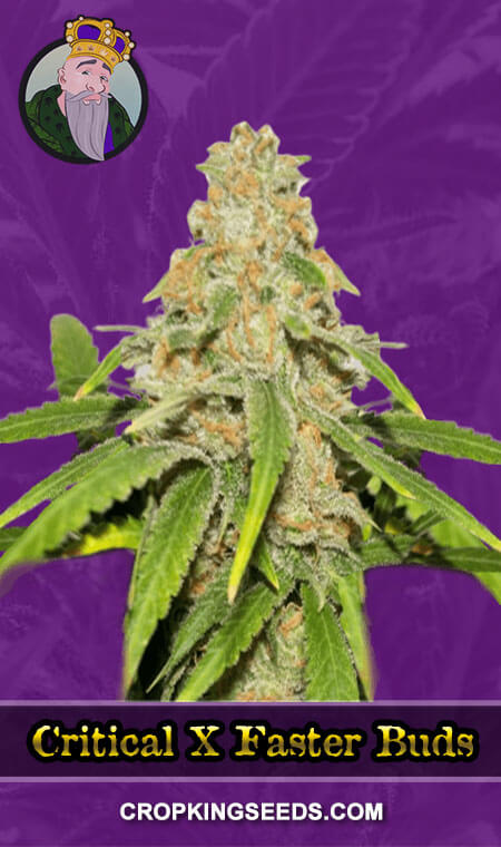Critical-X-Faster-Buds
