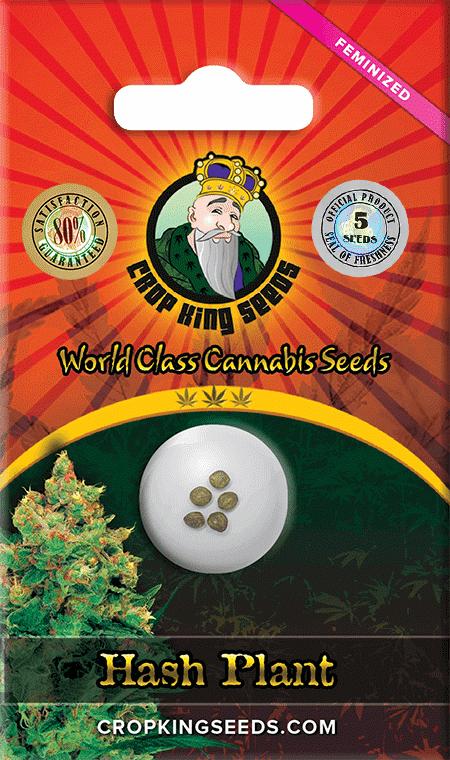 hash plant strain