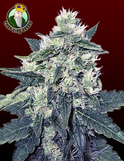 white vodoo strain